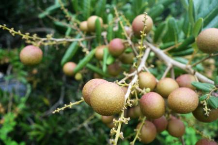Longan orchards -Tropical fruits longan in Malaysia photo