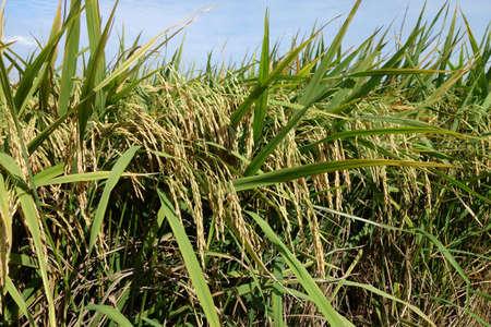 padi: Ripe rice grains in Asia before harvest