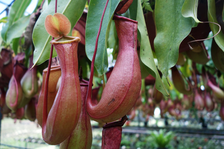 carnivore: Tropical pitcher plant this plant is a carnivore and eats insects Stock Photo