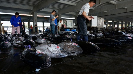 overfishing: DONGGANG, TAIWAN-NOV 25: Buyers inspect tuna fish before bidding on November 25, 2014 in Donggang, Taiwan. Japan is the biggest importing country of Donggang tuna, occupying 80% of its market