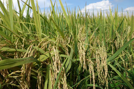 padi: Close up of ripe rice in the paddy