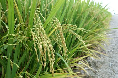 padi: The ripe paddy field is ready for harvest