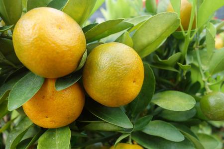 resembling: Close up kumquats, resembling oranges and other citrus fruits. Stock Photo