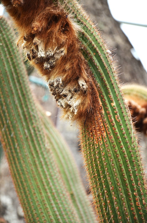 wooly: Wooly cactus