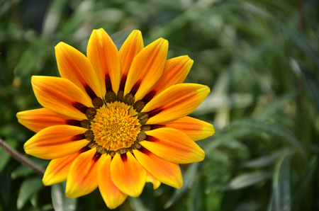 shined: Yellow daisy flower in the garden shined at sun Stock Photo
