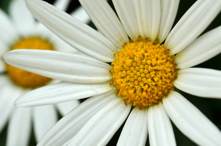 shined: Yellow and white daisy flower in the garden shined at sun