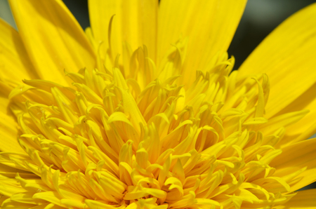 dalia: Close-up of beautiful yellow chrysanthemum flowers in the garden