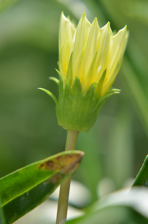 shined: Solitary yellow flower bud in the garden shined at sun