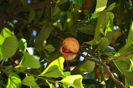 Colorful photo of Nutmeg fruit on the tree, in Penang