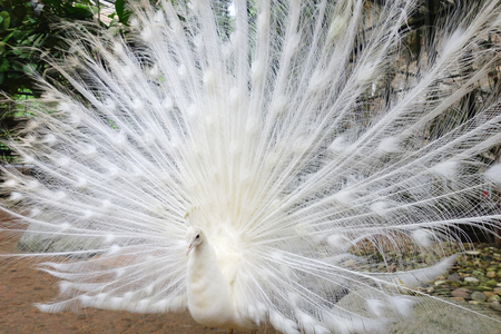 exotism: White peacock with flowing tail in the park