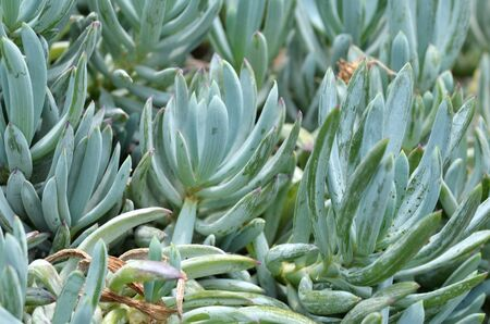 fleshy: Blue Chalk Sticks is a very attractive, easy care spreading succulent with fleshy