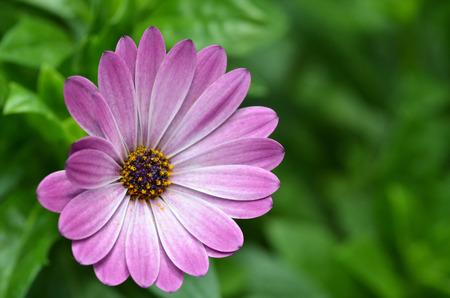 fanfare: Beautiful purple fanfare flower in a meadow