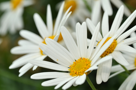 shasta daisy: Sunny Side Up Shasta Daisy blossom in the garden Stock Photo