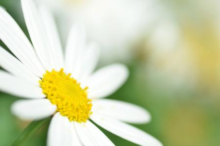 chamomile flower: White chamomile flower macro with blur background