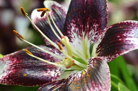 pistil: Close up of stamen and pistil of Lily flower