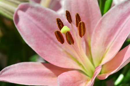 Close up of stamen and pistil of Lily flower