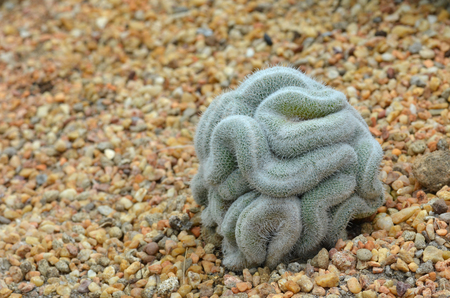 Green cactus that looks a little bit like the brain