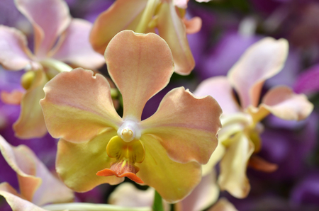 Beautiful purple orchid - phalaenopsis. Bouquet of flowers orchids. Stock Photo
