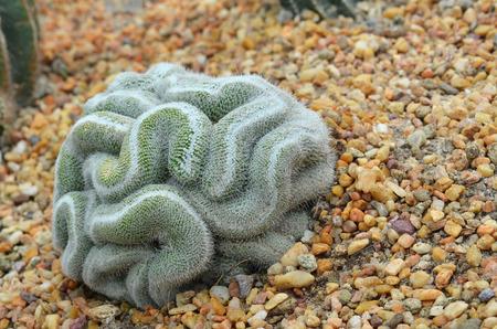 poquito: cactus verde que se ve un poco como el cerebro