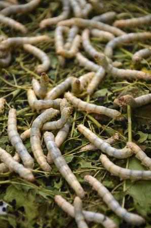 sericulture: Silkworms in silk farm, Siem Reap, Cambodia