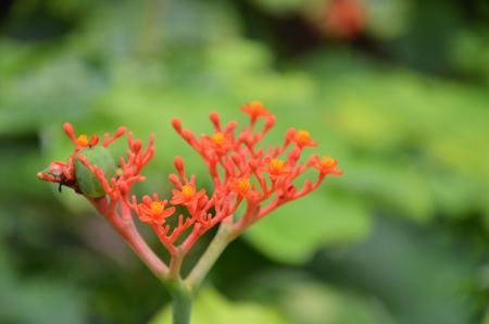 plants species: Jatropha podagrica è una specie di piante conosciute da diversi nomi comuni in inglese, tra cui bottleplant arbusti e piante di gotta Archivio Fotografico