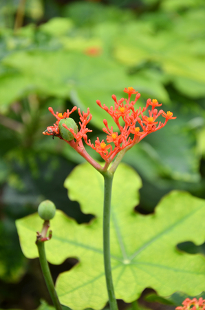 Jatropha podagrica is a species of plants known by several English common names, including bottleplant shrub and gout plant
