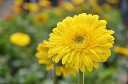 daisys: Close up to Gerbera flower in a garden
