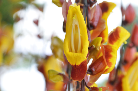 acanthaceae: Thunbergia mysorensis, also called Mysore trumpetvine or Indian clock vine, is a species of flowering plant in the family Acanthaceae