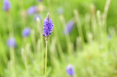 Lavender flower close up in a field Stock Photo
