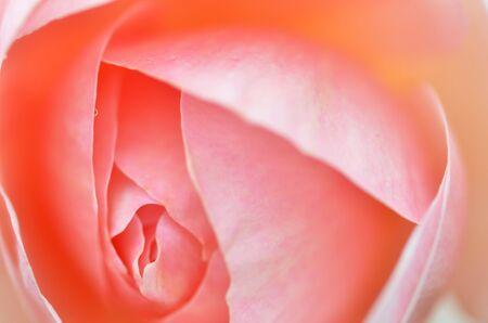 tiefe: Rosa Rosen-Blume mit geringer Tiefenschärfe isoliert