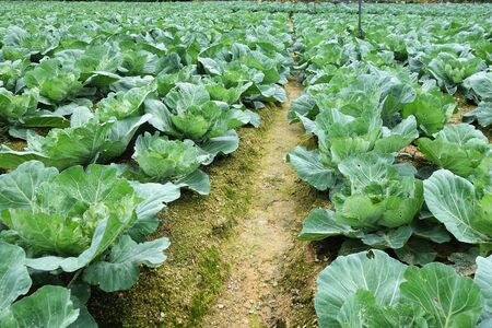 Rows of grown cabbages in Cameron Highland Malaysia Stock Photo