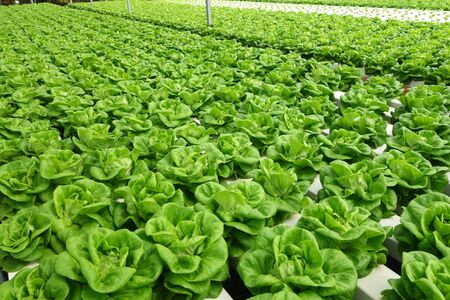 soilless cultivation: In the commercial greenhouse soilless cultivation of vegetables
