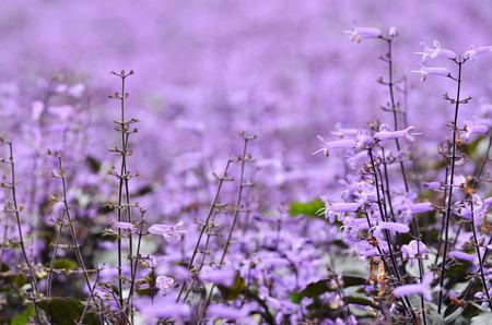 Plectranthus Mona Lavender flowers in the garden