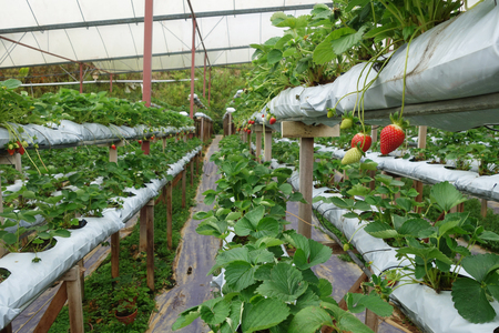 organic farm: Fresh strawberries that are grown in greenhouses in Cameron Highland, Malaysia