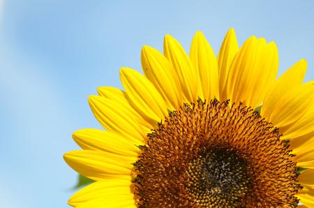 sunflower seeds: Yellow big sunflower and cloudy blue sky