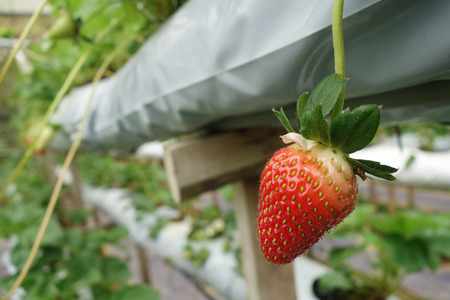 Fresh strawberries that are grown in greenhouses in Cameron Highland, Malaysia