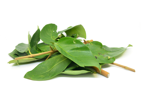Daun Salam known as the Indonesian Bay Leaf Stock Photo