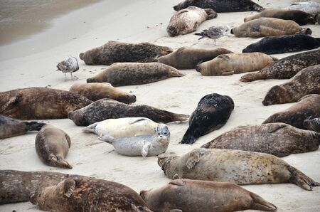 Sea lions sunbathe on the beach in La Jolla California Stock Photo