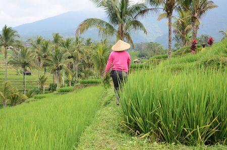 Female farmer wearing traditional paddy hat working in beautiful Jatiluwih rice terrace in Bali, Indonesia Stok Fotoğraf