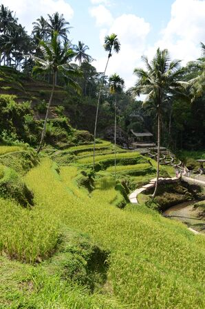 Scenic view of the lush green Tegallalang rice terraces in Ubud, Bali, Indonesia 写真素材