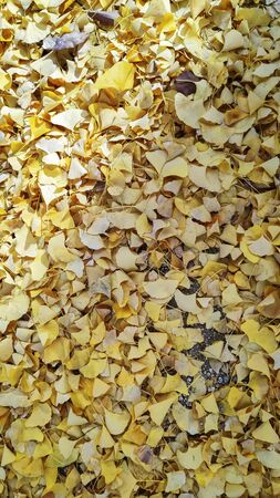 Yellow autumn ginko leave background in Japan