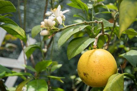 Close up orange fruits ripening on tree. Orange tree garden