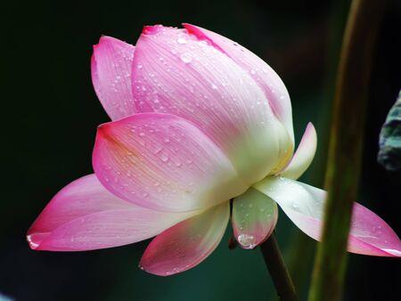 Weekend stroll honghu park rain reward lotus photo