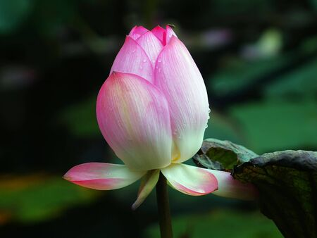 Weekend stroll honghu park rain reward lotus