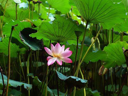 Weekend stroll honghu park rain reward lotus Stock Photo - 8024876
