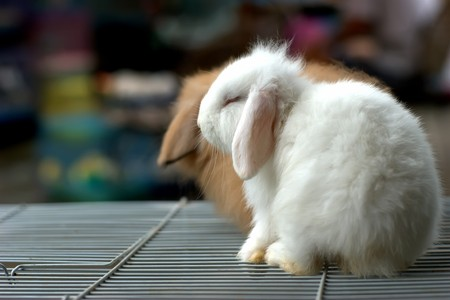 Any of vaus plant - eating mammals having fully furred feet and two pairs of upper incisors and belonging to the order Lagomorpha, which includes the rabbits, hares, and pikas Stock Photo - 8025084
