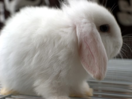 furred: Any of various plant - eating mammals having fully furred feet and two pairs of upper incisors and belonging to the order Lagomorpha, which includes the rabbits, hares, and pikas Stock Photo