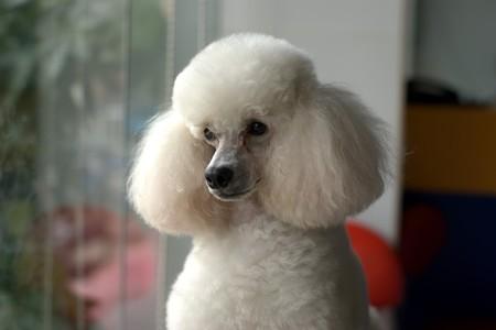 puta: Elegante belleza de nivel perro blanco e inteligente de damas