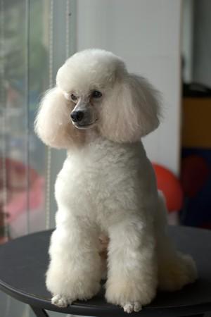 likable: Elegant beauty of smart and white dog level ladies