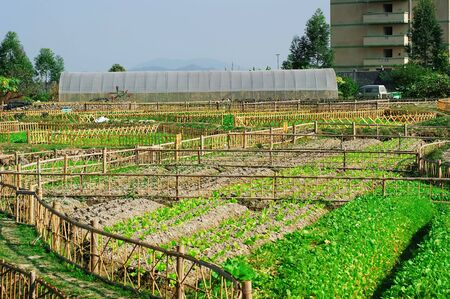 fense: There is a green vegetable in the fence, the ground has cabbage, eggplant vegetables.